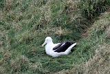 Young Royal Albatross - Otago Peninsula, New Zealand