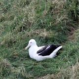 Young Royal Albatross - Otago Peninsula, New Zealand