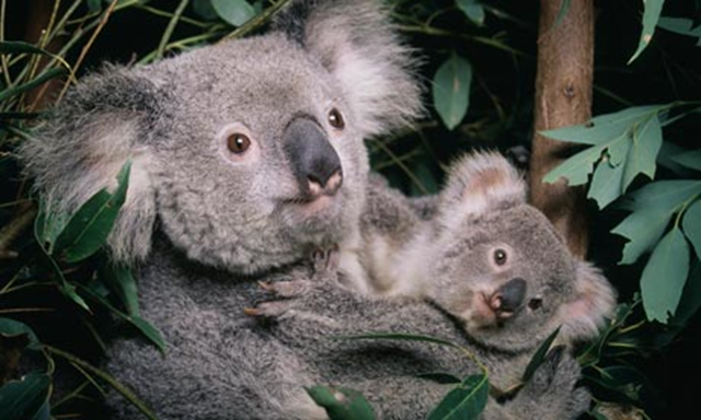 A koala and its baby. Koalas are susceptible to heat stress, and recent Australia temperatures have been beyond their 'climatic threshold'. Photo: John Giustina / Getty Images