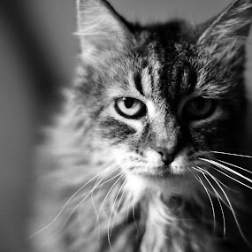Eye of the Tigress by Katie Ehrlich - Animals - Cats Portraits ( cat, old, beautiful, white, cute, pretty, portrait, and, feline, serious, tabby, kitty, black )