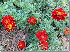 Sue Reno, Marigolds