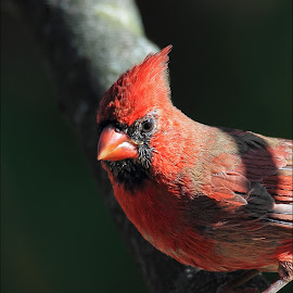 Morning Visitation by Dennis Ba - Animals Birds ( cardinal, portrait )