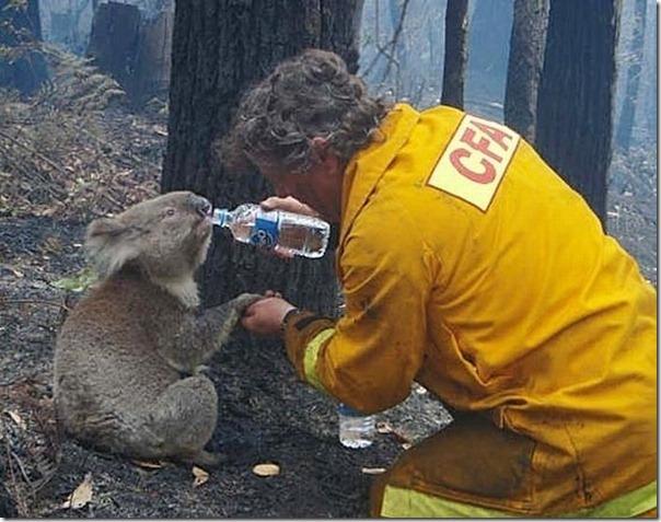 Adoraveis Koalas (16)