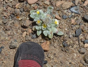 very tiny wildflowers at the BLM sunstone collection area that is my gloved finger