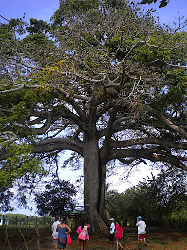 We took a walking tour of the island and saw this massive tree, estimated to be over 500 years old.