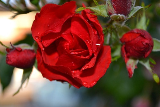 Red, red rose in the rain