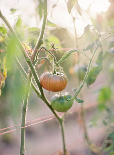 Orange and green tomatoes were growing on the vines, adding natural touches of color from the story's palette.