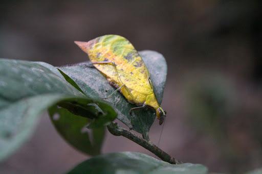 A leaf bug