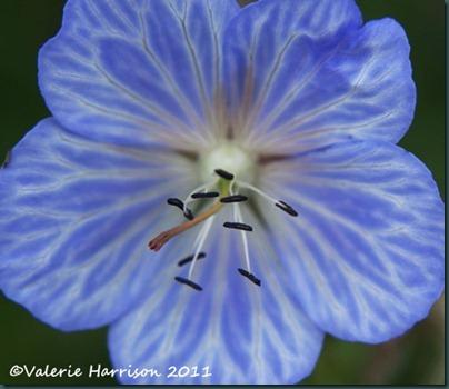27 streaked-geranium