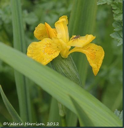 11-yellow-iris