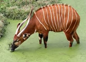Amazing Pictures of Animals, photo, Nature, exotic, funny, incredibel, Zoo, Western or Lowland bongo, Tragelaphus eurycerus eurycerus, Mammals, Alex (10)