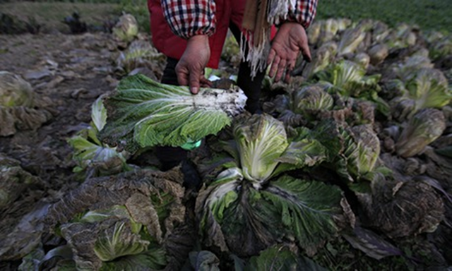 Diseased vegetables said to be caused by pollution from a chemical plant. Chinese scientists have warned that the country's toxic air pollution is now so bad that it resembles a nuclear winter, slowing photosynthesis in plants – and potentially wreaking havoc on the country's food supply. Photo: How Hwee Young / EPA