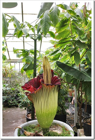 110625_Amorphophallus-titanum_28
