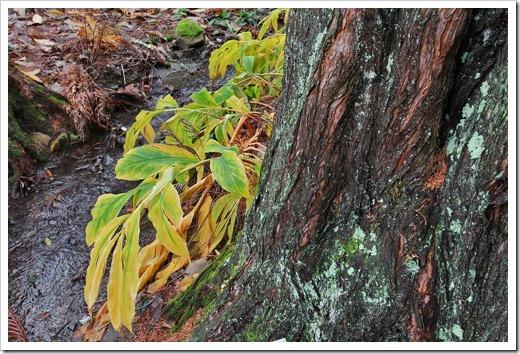 121228_UCBotGarden_Metasequoia-glyptostroboides- -Hedychium-spicatum_01