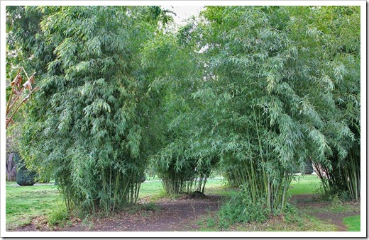 120317_Capitol_Park_Phyllostachys-bambusoides_06