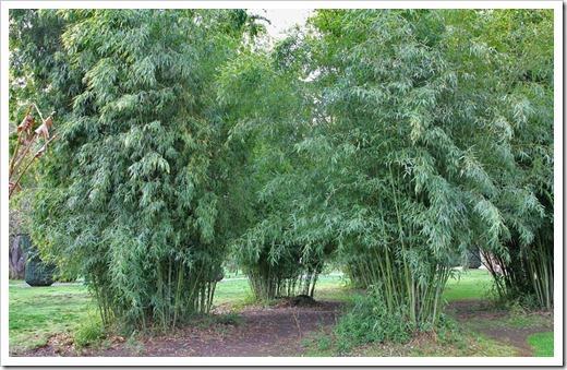 120317_Capitol_Park_Phyllostachys-bambusoides_06