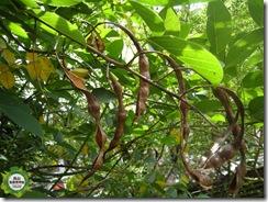 枝條上還掛有去年結的果莢!