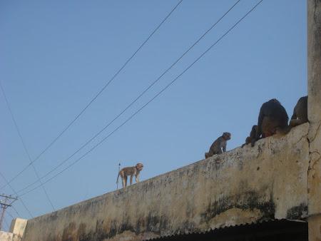 Imagini India: maimute sfinte