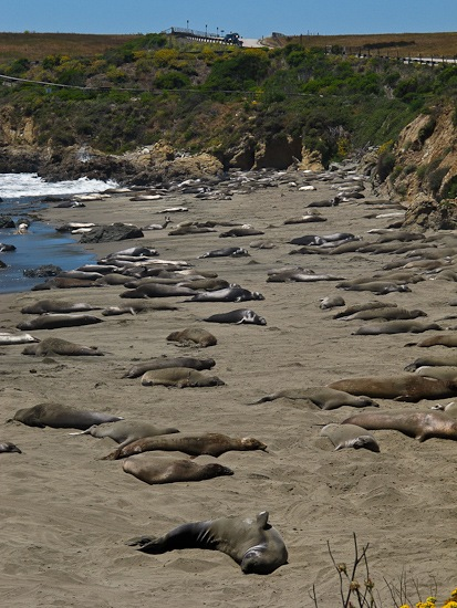 Point Piedras Blancas Elephant Seal Colony (3)