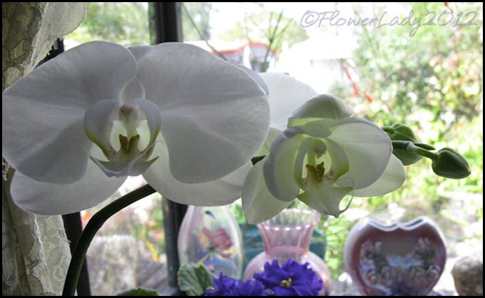 02-21-nancis-orchid