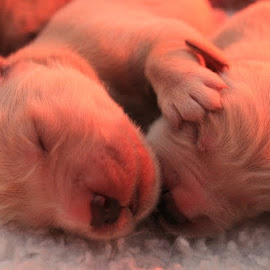 by Carla Chidiac - Animals - Dogs Puppies