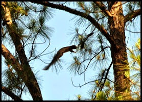 12b - Fox Squirrel - taking a flying leap