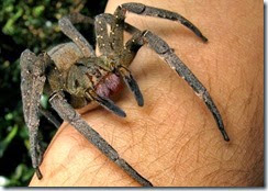 Brazilian wandering spiders