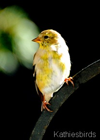 5. female goldfinch-kab