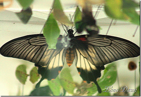 FPC_Butterfly_Great_Yellow_Mormon