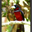 Black-and-Red Broadbill --- Cymbirhynchus macrorhynchus-05.jpg