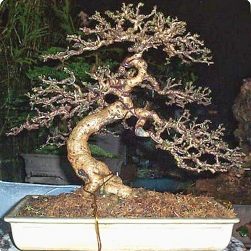 Bonsai Species Guides: Carmona Fukien Tea Bonsai.