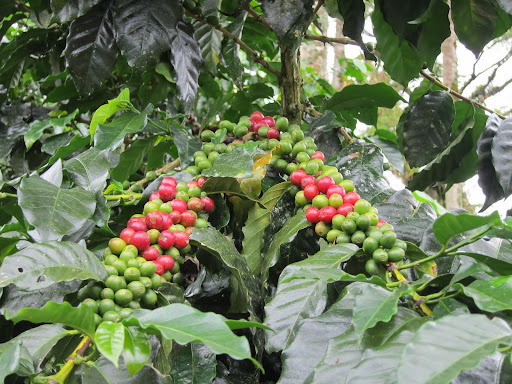 Ripened and unripened coffee berries at Hacienda Guayabal