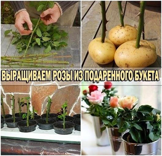 Осенью дома в горшочке укоренить розу