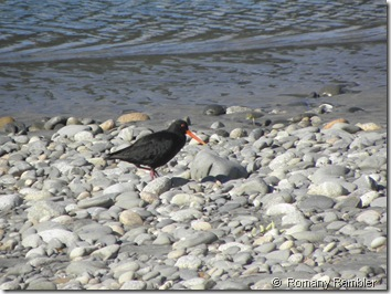 Variable Oyster Catcher-South Island Plumage