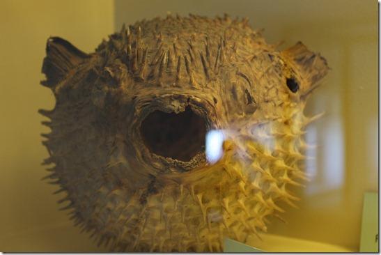 IMG_0073 Kugelfisch Präparat