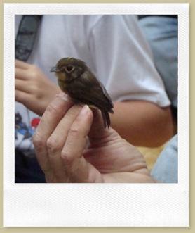 Patinho (Conophaga lineata)