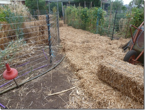 Pea-straw bales are broken up and laid down straight onmto dirt paths just like carpet tiles.