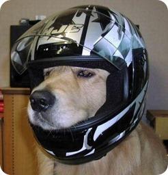 perro casco