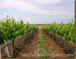 Влияние почвы на рост и урожай винограда 1