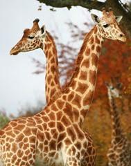 champrépus girafes