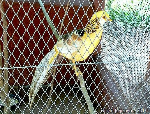 41- Glória Ishizaka - Marília - faisão canário