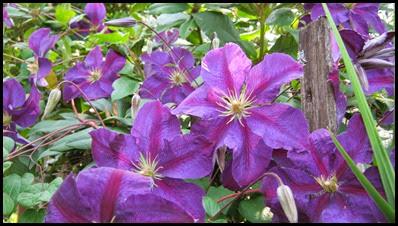 Purple Clematis2