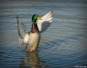 Amazing Pictures of Animals, photo, Nature, exotic, funny, incredibel, Zoo,  Mallard, Wild Duck (Anas platyrhynchos), Alex (16)