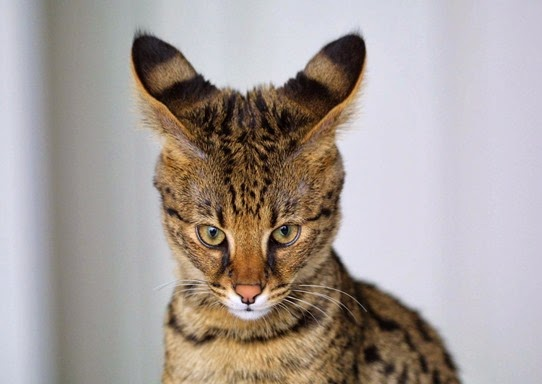 Amazing Pictures of Animals, Photo, Nature, Incredibel, Funny, Zoo,  Savannah cat,  domestic hybrid cat, Alex (24)