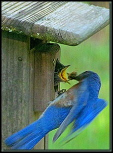 male bluebird feeding baby_thumb[1]