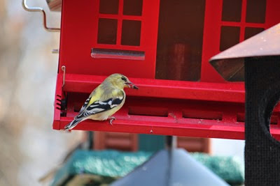 Goldfinch April 18 2014