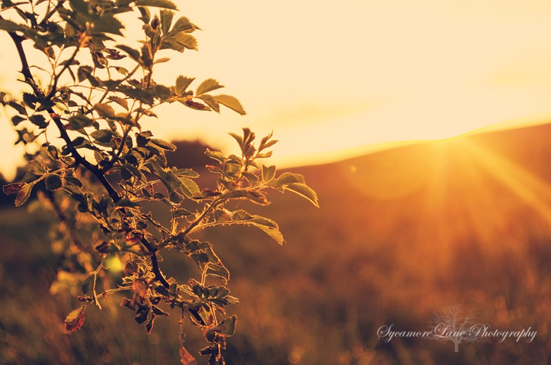 SycamoreLane Photography-Blackberry sunset