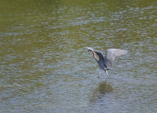 Rose-Colored Heron hunting