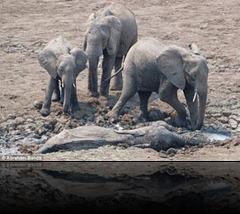 elephants_01