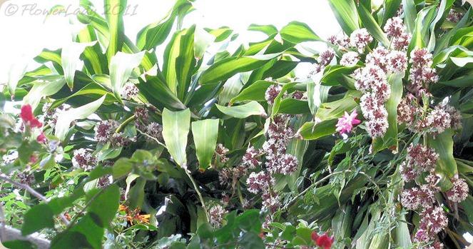 12-05-dracena-fragrans4